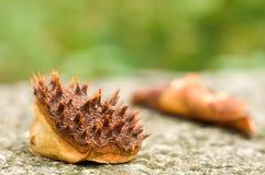 Chestnut shell. Royalty Free Stock Photos
