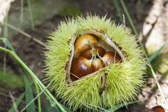 Chestnut in the shell. Five pieces of chestnuts in its opening shell Royalty Free Stock Photography