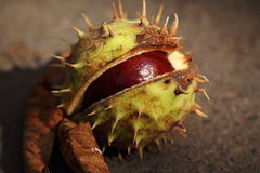 Chestnut in in shell Royalty Free Stock Photo