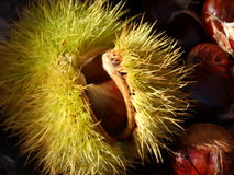 Chestnut in the shell. Royalty Free Stock Image