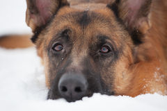 Chestnut Shepherd with sad snout. Lying in the snow Stock Image