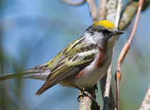 Chestnut-sided Warbler. Photograph of a brightly colored chestnut-sided warbler perched on a branch in a spring midwestern forest stock photography