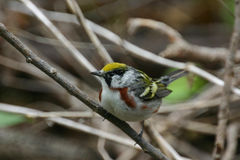 Chestnut-sided Warbler Royalty Free Stock Photography