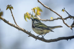 Chestnut-sided Warbler Royalty Free Stock Image