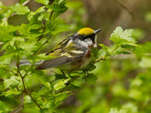 Chestnut-sided Warbler,Dendroica pensylvanica. A colorful migratory bird warbler perching on a branch with green leaves in springtime, Ontario, Canada Stock Photo