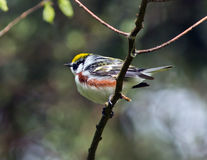 Chestnut-sided Warbler, Dendroica pensylvanica Stock Photos