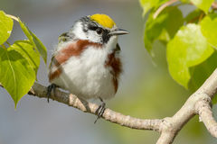 Chestnut-sided Warbler Royalty Free Stock Images