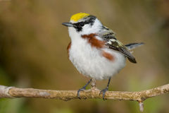 Chestnut-sided Warbler Stock Image