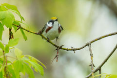 Chestnut-sided Warbler Royalty Free Stock Photo