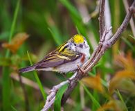 Chestnut sided warbler perched on a branch stock photo