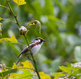 Chestnut Sided Warbler Royalty Free Stock Image