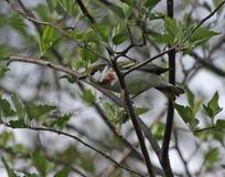 Chestnut-sided Warbler Stock Images