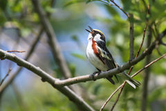 Chestnut-sided Warbler Singing. A tiny Chestnut-sided Warbler (Setophaga pensylvanica) singing loudly while perched on a tree branch.  It is a migratory new Stock Photo