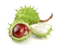 Chestnut in the skin isolated on white background closeup Stock Images