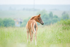 Chestnut sleeping foal in summer pasture Royalty Free Stock Photo