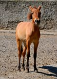 Chestnut small horse Stock Image