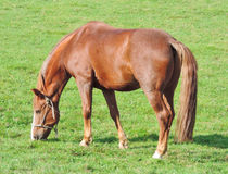 Chestnut or sorrel horse. Grazing on a pasture Stock Images