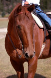 Chestnut/Sorrel Horse with Rider. Portrait of chestnut/sorrel horse with rider royalty free stock photography