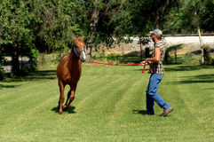 Chestnut Sorrel in Training. Chestnut sorrel gallops around a grassy enclosure.  Horse trainer has lead rope and clicks instructions as he trains Royalty Free Stock Images