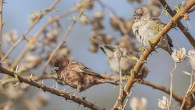 Chestnut Sparrow Family Sit on Thorn Branch. Male and female Chestnut sparrows, Passer eminibey, perch on thorn tree branches at Abijatta-Shalla National Park stock photography