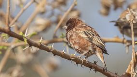 Chestnut Sparrow Perches on Thorn Branch. Male Chestnut sparrow, Passer eminibey, perches on thorn tree branch at Abijatta-Shalla National Park, Ethiopia, Africa royalty free stock photography