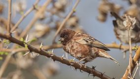 Chestnut Sparrow Sits on Thorn Branch. Chestnut sparrow, Passer eminibey, perches on thorn tree branch at Abijatta-Shalla National Park, Ethiopia, Africa stock images
