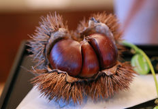 Chestnut with the splinter. Brown chestnut with the splinter Royalty Free Stock Image