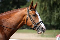 Chestnut sport horse portrait during competition Stock Photos