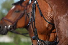 Chestnut sport horse portrait during riding Royalty Free Stock Photo