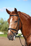 Chestnut sport horse portrait in summer Stock Images