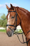 Chestnut sport horse portrait in summer Royalty Free Stock Image