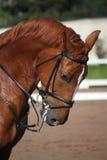 Chestnut sport horse portrait in summer Stock Photo