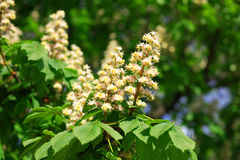 Chestnut at spring Royalty Free Stock Photo