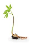 Chestnut sprout. Young chestnut sprout isolated on white royalty free stock image