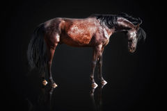 Chestnut stallion Royalty Free Stock Photography