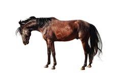 Chestnut stallion Royalty Free Stock Photography