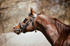 Chestnut stallion. A chestnut purebred arabian stallion Stock Photos