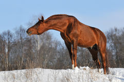 Chestnut stallion portrait in winter. Sun Stock Images