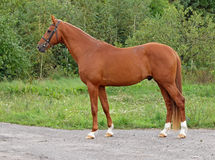 A chestnut stallion Royalty Free Stock Images