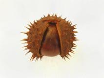 Chestnut. Is still in the shell Stock Illustration