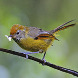 Chestnut-tailed Minla Royalty Free Stock Images