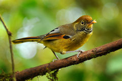 Chestnut-tailed minla bird Royalty Free Stock Photos