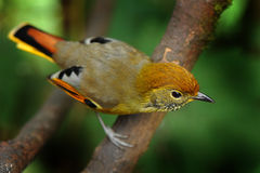 Chestnut-tailed minla bird Stock Photo