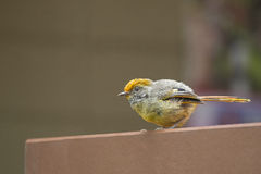 Chestnut-tailed Minla bird in yellow living in Chiangmai, North Royalty Free Stock Photo