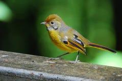 Chestnut-tailed Minla Stock Image