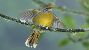 A chestnut-tailed minla fluttering its wings Royalty Free Stock Photo