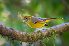Chestnut-tailed minla(Minla strigula) Stock Photography