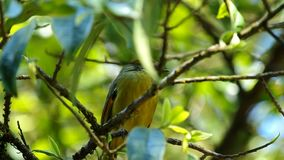 Chestnut-tailed minla moving on the tree stock footage