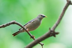 Chestnut-tailed Starling Royalty Free Stock Photos