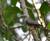Chestnut-tailed starling or grey-headed myna Royalty Free Stock Images